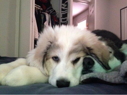 Вторая собака в доме! Конкурент или друг