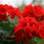 Ароматные комнатные растения для улучшения настроения в  вашем доме