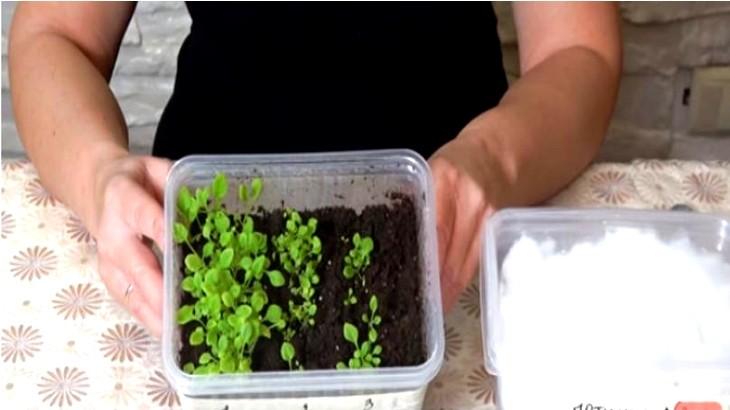 посева семян петунии на рассаду