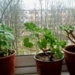 Зимовка пеларгонии в домашних условиях