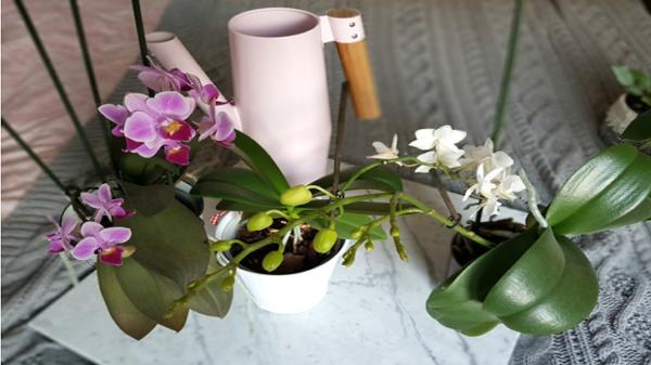 что сделать чтобы орхидея зацвела